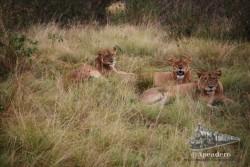 Los leones son muy sociables, viven y cazan en manada.