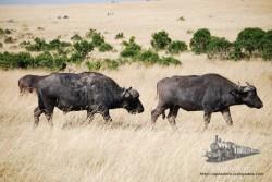 Los búfalos van siempre en grupo, uno solo es una víctima ideal para un grupo de leonas.