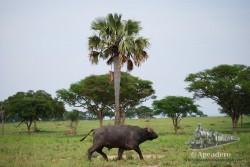 Un búfalo en un parque de Uganda