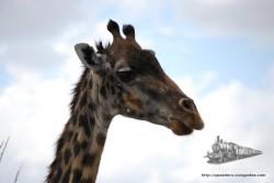 Las jirafas son muy fotogénicas.