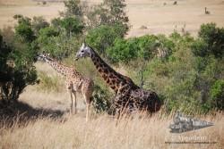 Hay varias tonalidades en la piel de las jirafas.