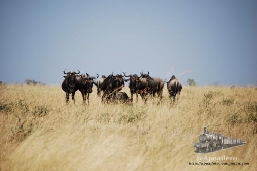 Los ñus suelen encontrarse en grupos muy grandes.