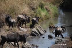 Una manada de ñus bebiendo en un riachuelo.