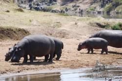 A primera hora de la mañana y última de la tarde es más fácil ver a los hipopótamos fuera del agua.
