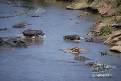 Cuando el calor aprieta, los hipopótamos buscarán refugio en el agua.