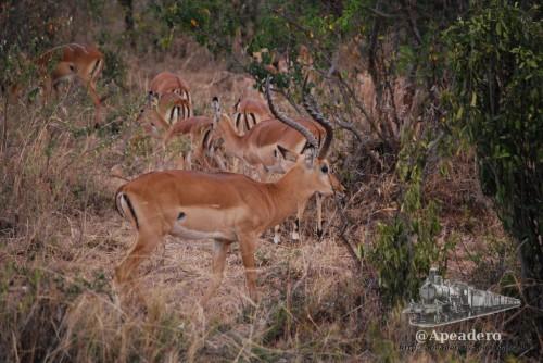Los impalas van siempre en manadas
