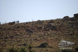 El eland es otro tipo de antílope.