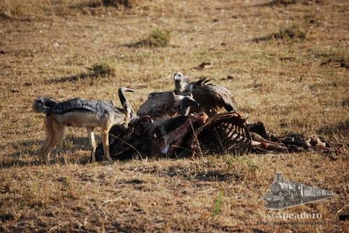 Los carroñeros se pelearán por los restos de comida que dejen los depredadores.
