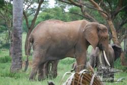 Un elefante muy grande en Uganda.
