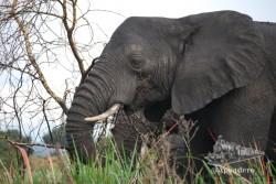 Parecen tranquilos, pero los elefantes tienen muy mala leche.