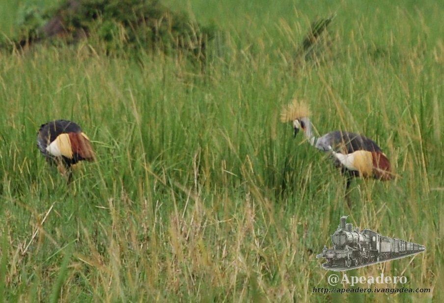 La grulla coronada, el pájaro nacional de Uganda