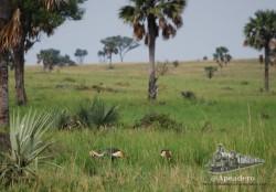 Las fotos de las grullas coronadas las tomamos en Uganda
