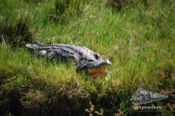Aunque el cocodrilo parezca irreal, tan quieto y tan brillante, es tan real que es capaz de arrancarte una pierna de un mordisco.