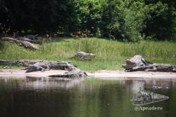Las mayores colonias de cocodrilos que vimos estaban en las Murchison Falls de Uganda.