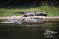 Los cocodrilos con la boca abierta fuera del agua o nadando, están siempre alerta para cazar cualquier animal distraído.