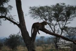 Hay que buscar a los guepardos sobre los árboles.