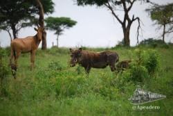 Un Jabalí con su cría en Uganda.