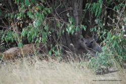 La hiena tiene muy buenos colores para camuflarse.