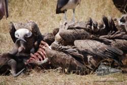 Buitres tratando de sacar toda la carne que queda en el cadáver de un ñu.
