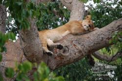 Los leones de Queen Elizabeth prefieren echarse la siesta sobre los árboles para evitar los picotazos de la mosca Tse-tse