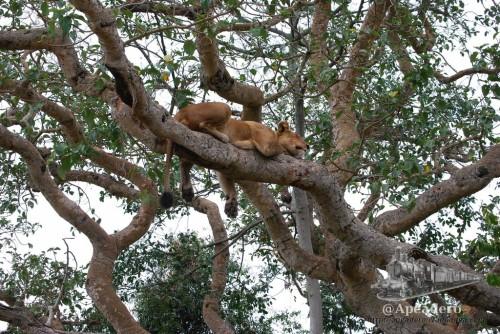 Los leones suben a unos 8-10 metros de altura, no son las ramas más altas, pero tampoco las más bajas.