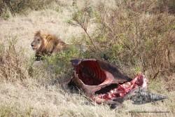 León cuidando de su cena.