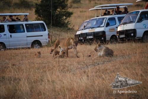 La proximidad de los humanos no inquieta a las leonas.. ellas van a lo suyo.