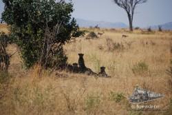 Un grupo de guepardos vigilan de cerca a unos hervíboros.