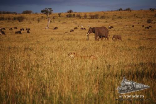 Las leonas se camuflan perfectamente, pero tienen que estar muy desesperadas para decir atacar a un elefantes.