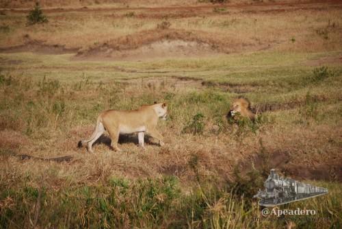 """El león está tranquilamente mirando el paisaje, cuando la leona se acerca diciéndole """"hola chato"""" con sus movimientos sutiles."""