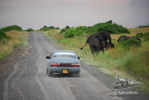 Más peligroso es hacer lo que hizo este imbecil en Uganda molestando a un grupo de elefantes. Idiotas los hay en todas partes.