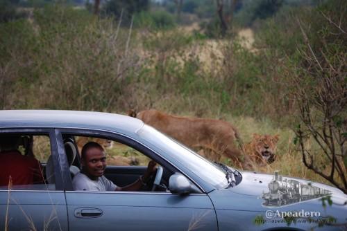 La cercanía a los animales es espectacular. Puedes tener a un león a 2 metros y mantener la ventanilla abierta.. aunque no lo recomiendo :)