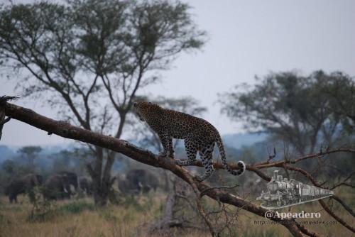 El leopardo parece que también se ha dado cuenta de que son muchos