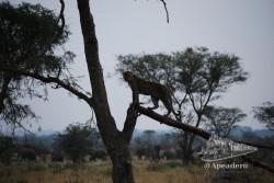 ¿Que hacemos? ¿Vamos a ver los elefantes cruzar o nos quedamos con el leopardo?