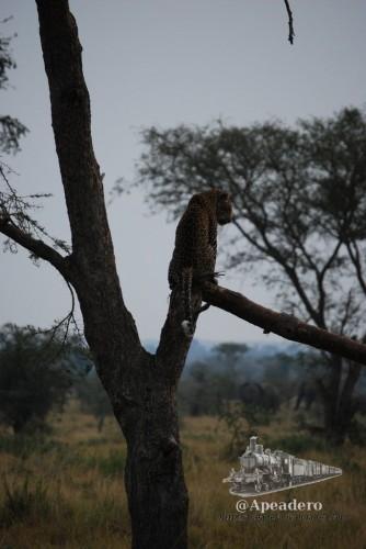 Y aquí nos quedamos, con el leopardo hasta que oscureció, ignorando a los 60 elefantes