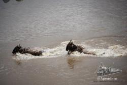 Los ñus acaban siempre con el agua al cuello por su baja estatura.