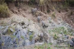 Las cebras son muy grupales y si una sube las otras van detrás.