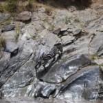 Cebras escaladoras