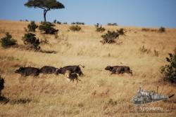 Un león lanza un ataque contra un grupo de búfalos. Se nota que no tiene mucha idea de cazar búfalos. Una leona muy amiga suya le observa desde lejos, no se si riendo o preocupada.