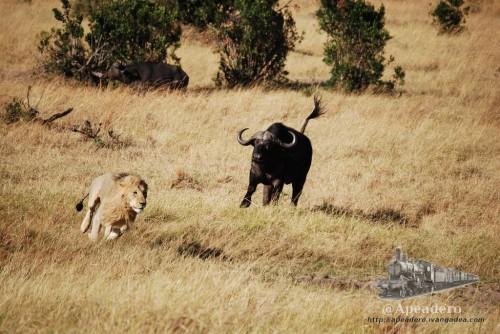 El león tiene que salir por patas ante el acoso de los búfalos que tratan de proteger a la manada.