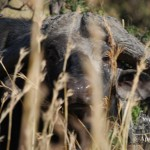 Leones contra búfalos