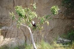 Una águila pescadora en las Murchison Falls (Uganda).