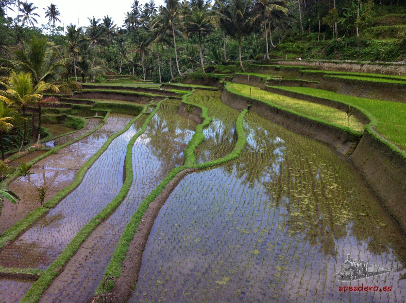 Toda la isla de Bali está llena de terrazas de arroz, las mejores son las del norte, preguntad donde alquiléis la moto como llegar.
