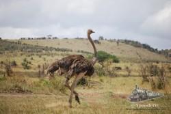 Un avestruz paseando por la sabana.