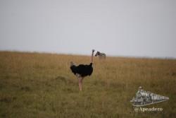 Las avestruces son muy poco sociables, suelen andar solas.
