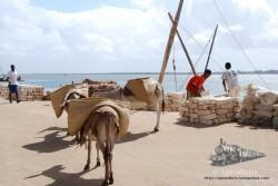 Los burros son usados para realizar todas las tareas pesadas.