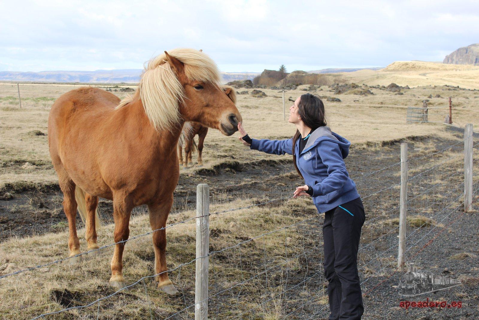 Los caballos islandeses son dóciles y amigables, pero eso sí, cualquier ruido les asusta.