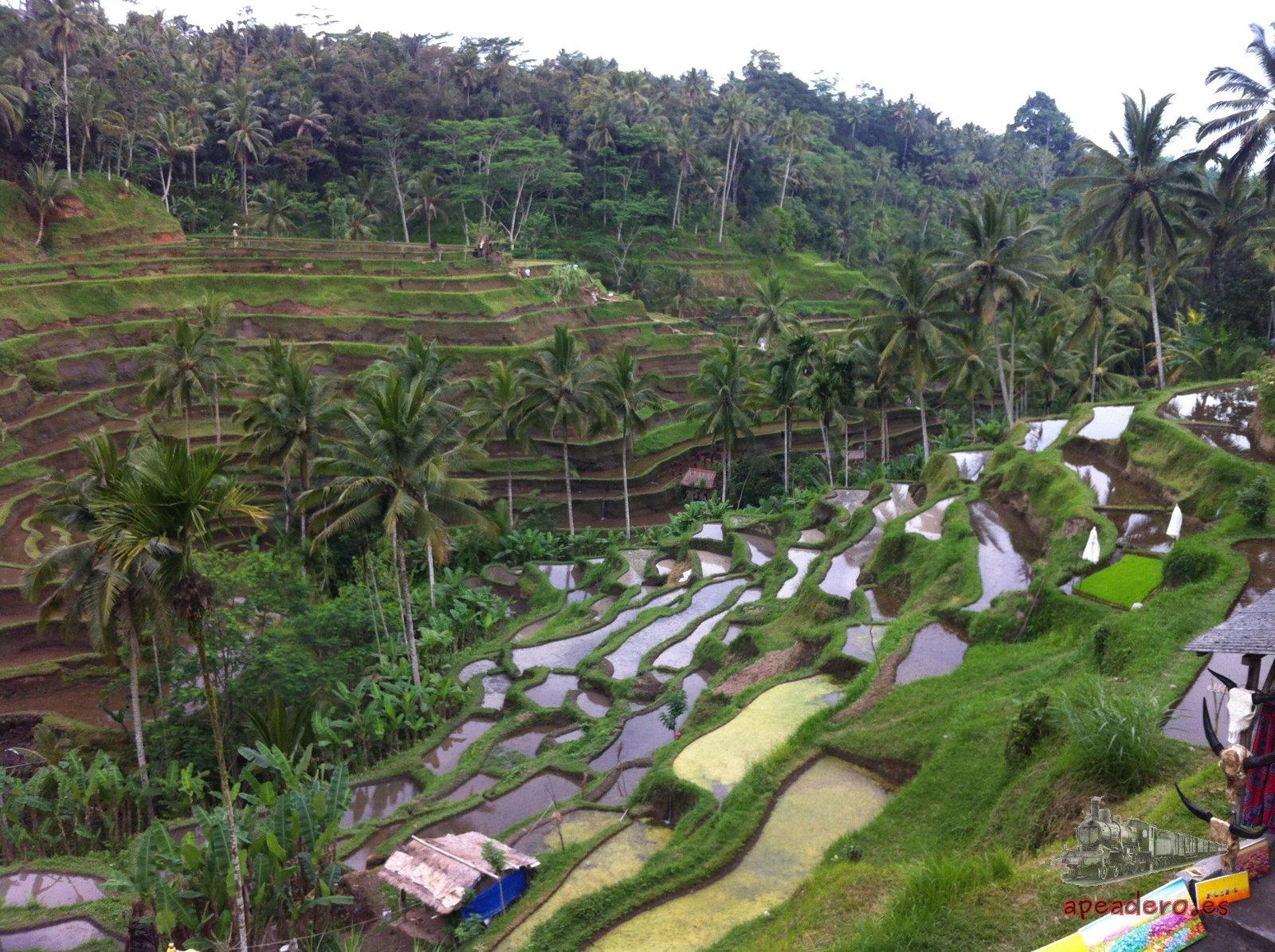 Las terrazas de arroz del norte de Bali sí son una visita obligatoria.