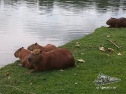 Las capibaras son muy tranquilas, pero mejor no molestarlas.