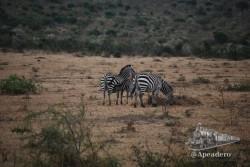 Es muy común en Masai Mara encontrar cebras de todas las edades, algunas de ellas todavía en época de lactancia.